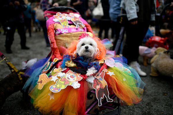 Un cane con un vestito colorato all'annuale Halloween Dog Parade a New York, il 20 ottobre 2019. - Sputnik Italia