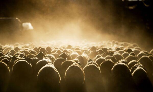 Un gregge di pecore va al pascolo lungo una delle strade del villaggio vicino al lago Sevan in Armenia - Sputnik Italia