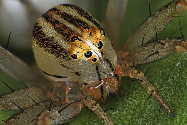 La foto 'Ragno femmina Oxyopes dumonti (lynx)' del fotografo Antoine Franck che ha ottenuto il 14° posto al concorso fotografico Nikon Small World-2019 - Sputnik Italia
