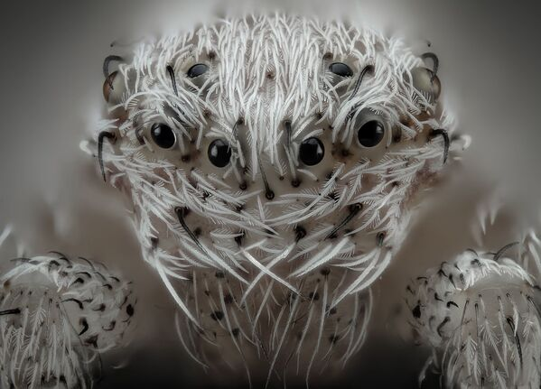 La foto 'Piccolo ragno bianco' del fotografo spagnolo Javier Rupérez che ha ottenuto il 6° posto al concorso fotografico Nikon Small World-2019 - Sputnik Italia