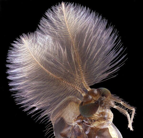 La foto 'Zanzara maschio' del fotografo Jan Rosenboom che ha ottenuto il 4° posto al concorso fotografico Nikon Small World-2019 - Sputnik Italia