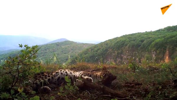 Rarissimo leopardo ripreso nel Leopard national park in Russia - Sputnik Italia