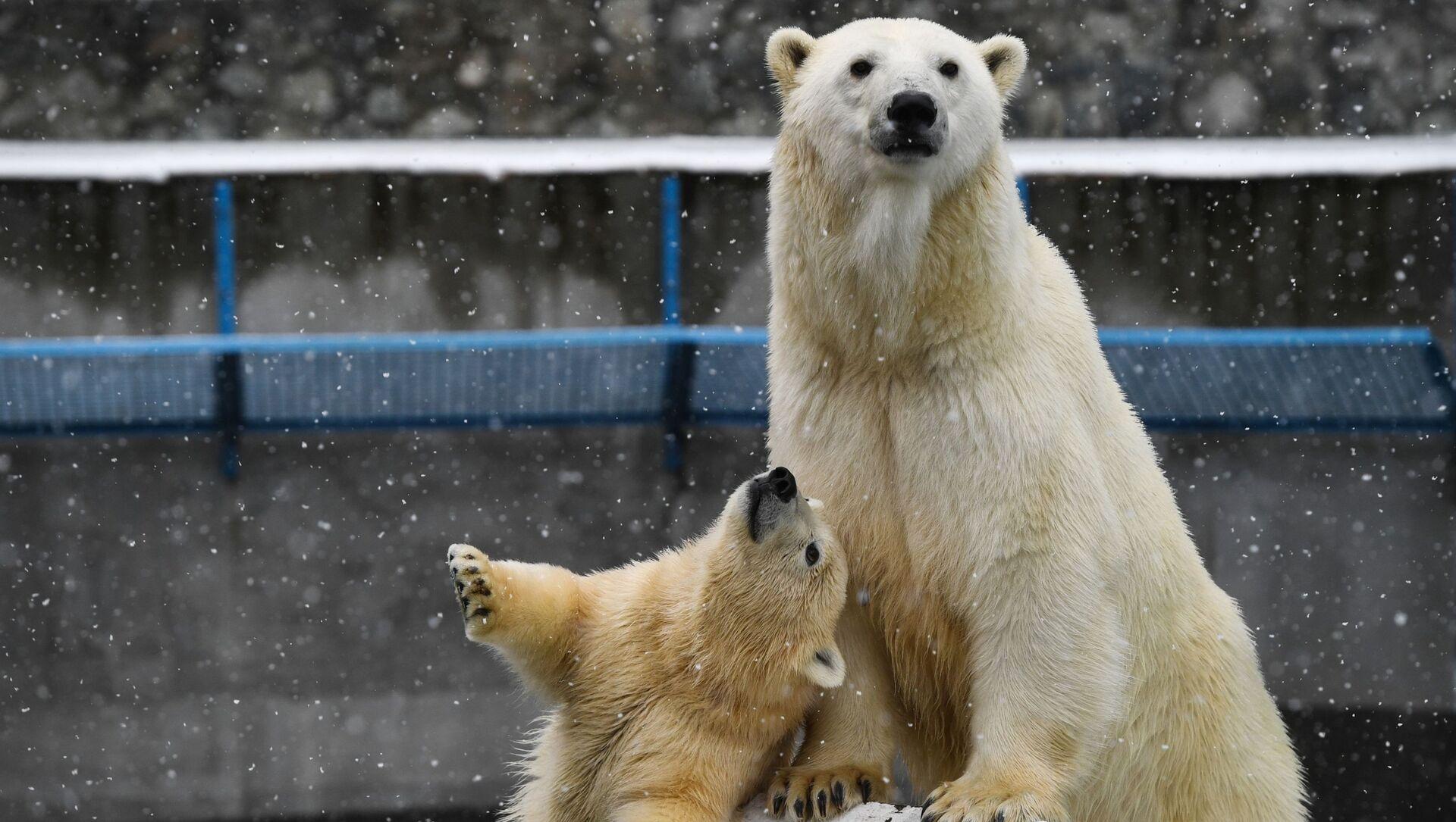 L'orso polare Gerda e il suo cucciolo allo zoo di Novosibirsk. - Sputnik Italia, 1920, 14.04.2021