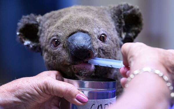 Il koala salvato durante l'incendio in Australia - Sputnik Italia