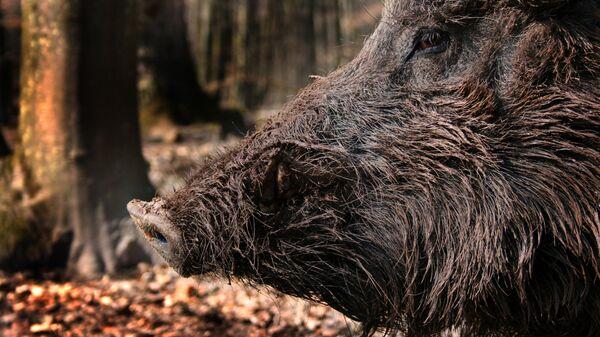 Un cinghiale nel bosco - Sputnik Italia