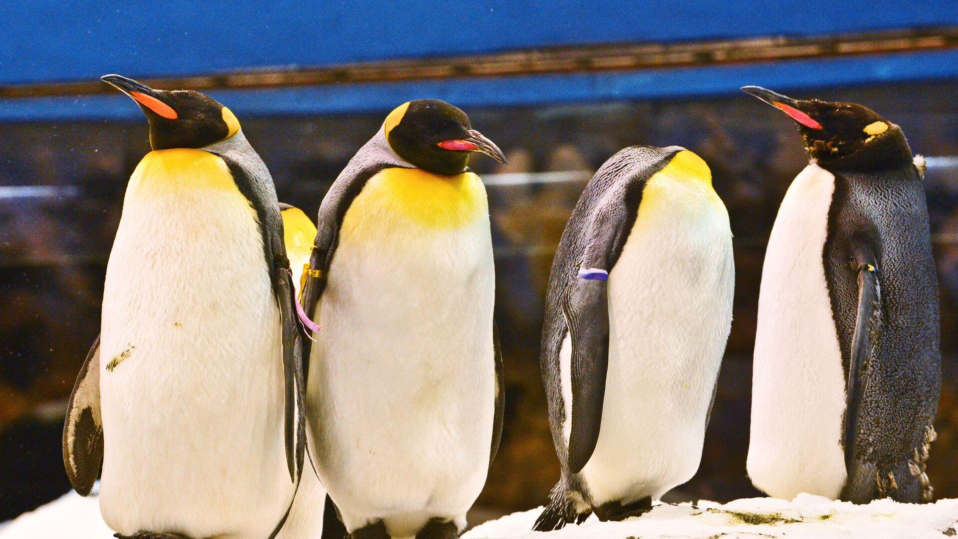 Pinguini al Pinguinario del Loro Parque a Tenerife - Sputnik Italia, 1920, 20.09.2021