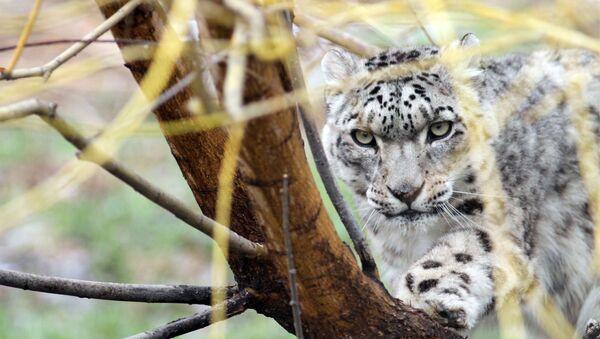 Leopardo delle nevi - Sputnik Italia