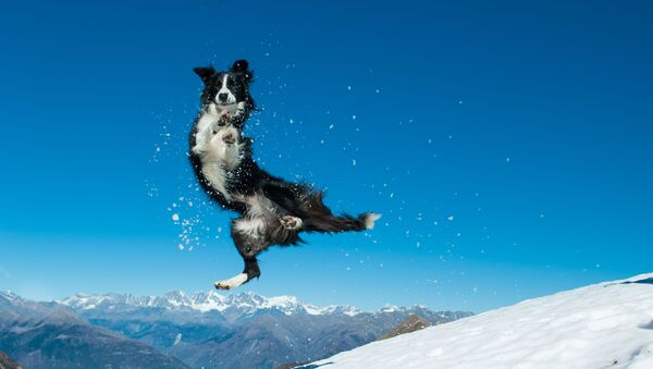 Колли прыгает в снегу - Sputnik Italia