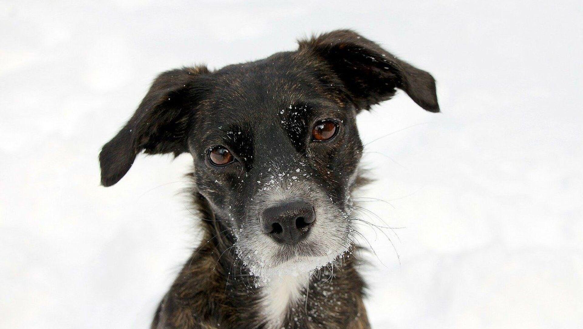 Cane sulla neve - Sputnik Italia, 1920, 12.02.2021