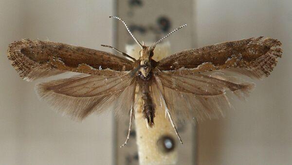 Plutella maculipennis - Sputnik Italia