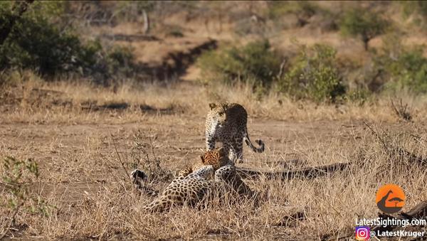 Femmina di leopardo termina feroce combattimento tra due maschi - Video - Sputnik Italia