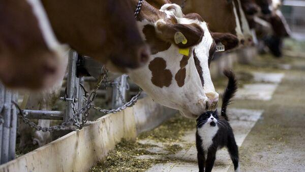 Корова тыкаются носом в кошку на ферме в Гранби - Sputnik Italia