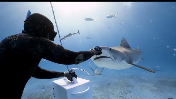 Squalo tigre addenta pesce dalle mani di un subacqueo - video - Sputnik Italia