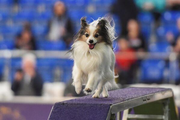 Un cane partecipa alla gara dello show dei cani Westminster Kennel Club a New York. - Sputnik Italia