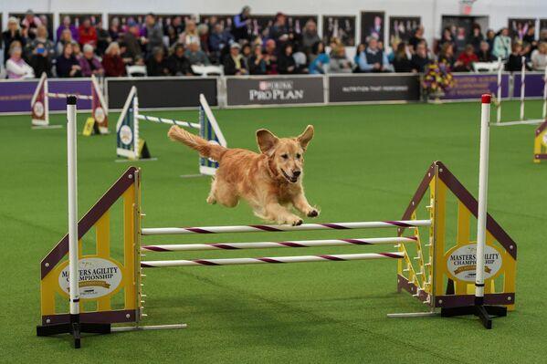 Un cane si esibisce show dei cani Westminster Kennel Club a New York. - Sputnik Italia