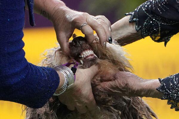 Un Perro de Agua Español di nome Moo allo show dei cani Westminster Kennel Club a New York. - Sputnik Italia