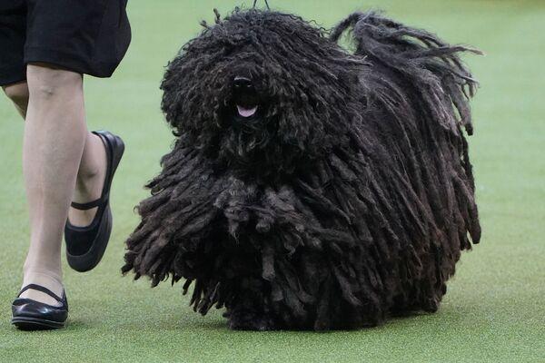 Un cane di razza Puli di nome Spaetzle allo show dei cani Westminster Kennel Club a New York. - Sputnik Italia