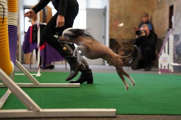 Il cane crestato cinese Pepe allo show dei cani Westminster Kennel Club a New York. - Sputnik Italia