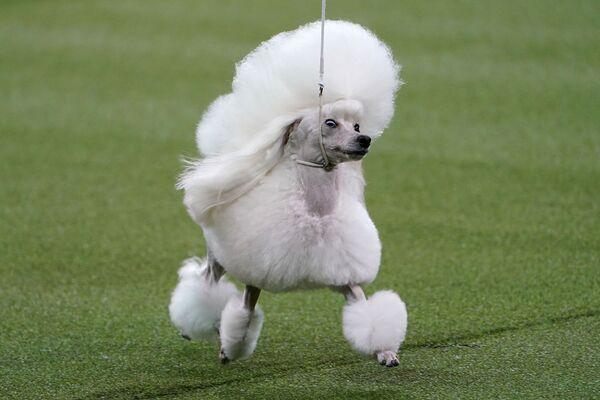Il barboncino toy di nome Cami allo show dei cani Westminster Kennel Club a New York. - Sputnik Italia