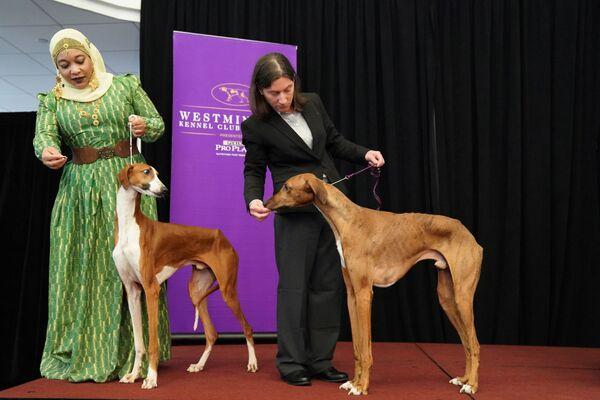 Due cani Azawakh allo show dei cani Westminster Kennel Club a New York. - Sputnik Italia