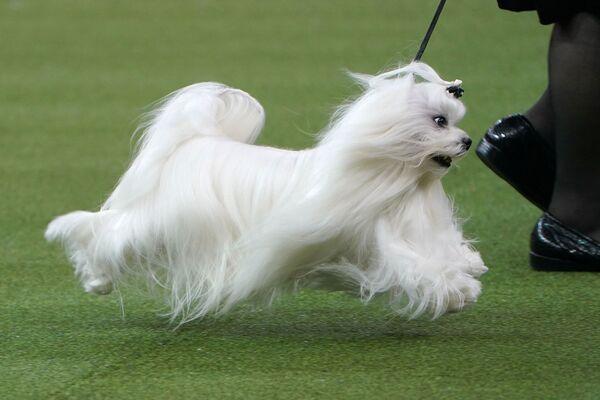 Un maltese di nome Timebomb allo show dei cani Westminster Kennel Club a New York. - Sputnik Italia