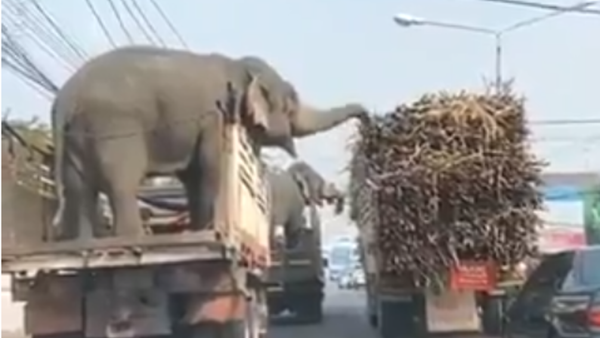Elefanti golosi bloccano il traffico per rubare canne da zucchero da un camion - Video - Sputnik Italia