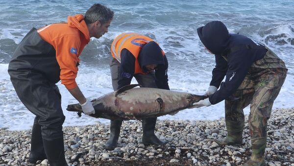 Delfino morto - Sputnik Italia