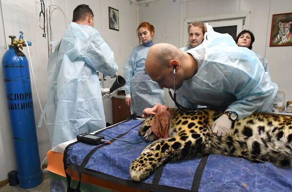 Un veterinario esamina il leopardo dell'Amur Leo 131M Elbrus nel Centro di riabilitazione per tigri ed altri animali a Vladivostok. - Sputnik Italia