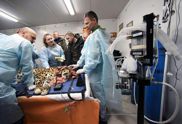I veterinari esaminano il leopardo dell'Amur Leo 131M Elbrus nel Centro di riabilitazione per tigri ed altri animali a Vladivostok. - Sputnik Italia