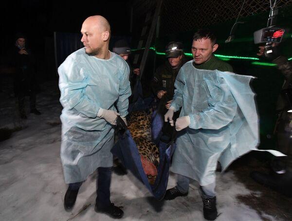 I dipendenti del Centro di riabilitazione per tigri ed altri animali preparano il leopardo al trasferimento da Vladivostok a Mosca. - Sputnik Italia