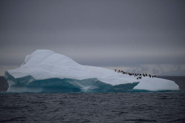 Un gruppo dei pinguini Papua sull'iceberg vicino al canale di Lemaire in Antartide - Sputnik Italia