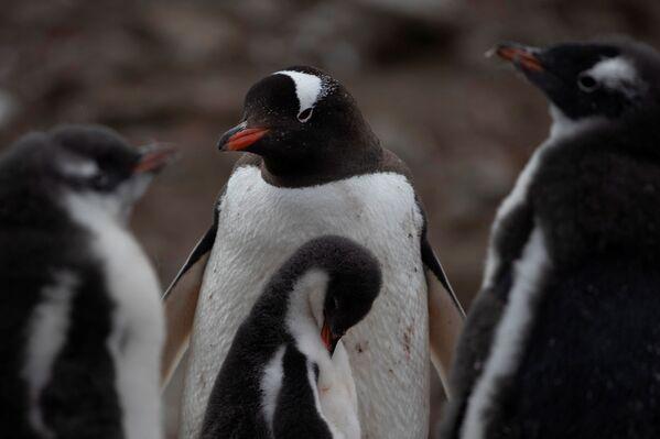 I pinguini Papua, L'Isola di Snow nella Regione antartica - Sputnik Italia