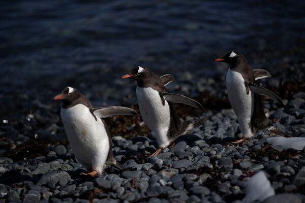 I pinguini Papua, l'isola di Anvers, Antartide, il 4 febbraio 2020 - Sputnik Italia