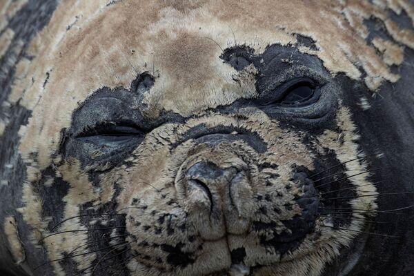 Una foca sull'Isola di Snow nella Regione antartica, il 30 gennaio 2020 - Sputnik Italia