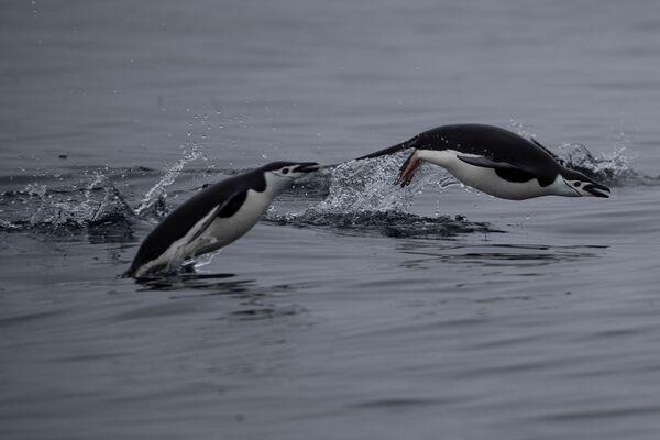 I pinguini Papua, l'isola di Two Hummock nella Regione antartica, il 2 febbraio 2020 - Sputnik Italia