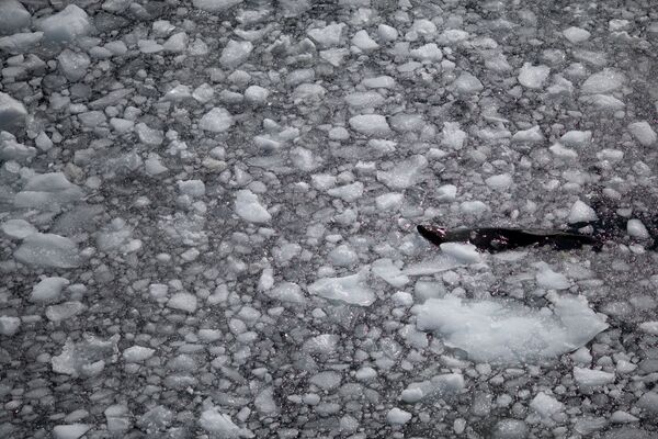 Una foca, l'isola di Anvers nella Regione antartica, il 4 febbraio 2020 - Sputnik Italia