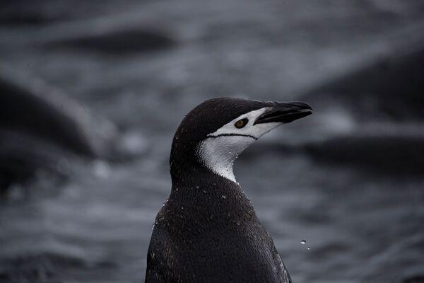 Un pinguino Papua, L'Isola di Snow nella Regione antartica - Sputnik Italia