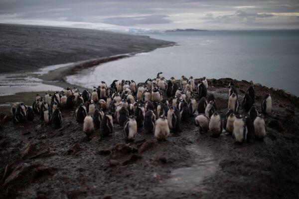 I pinguini Papua, L'Isola di Snow nella Regione antartica, il 31 gennaio 2020 - Sputnik Italia