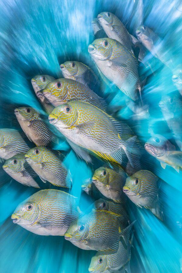 Lo scatto Rabbit Fish Zoom Blur del fotografo britannico Nicholas More raffigura un banco di pesci conigli. - Sputnik Italia
