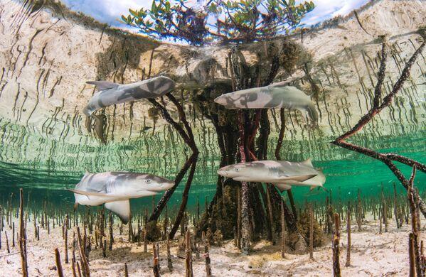 Lo scatto Lemon shark nursery (L'asilo nido degli squali limone) della fotografa bahamense Anita Kainrath.  - Sputnik Italia