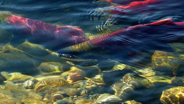 Salmones (imagen referencial) - Sputnik Italia