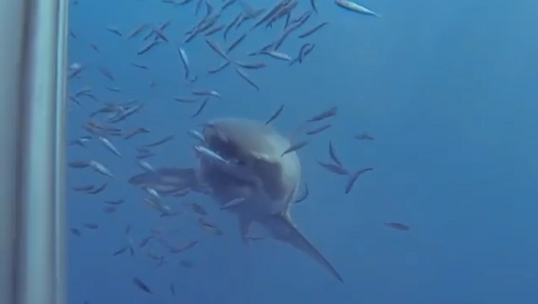 Morso letale: uno squalo mette alla prova la resistenza della gabbia di un sub - Sputnik Italia