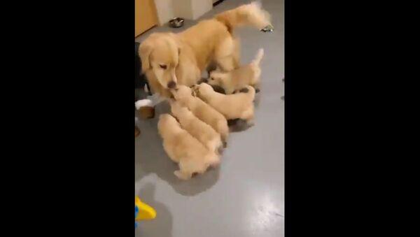 """Adorabili cuccioli di Golden Retriever """"assalgono"""" la loro mamma - Video - Sputnik Italia"""