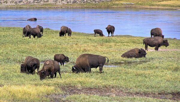 Bisonte americano nel parco nazionale di Yellowstone, Hayden Valley - Sputnik Italia