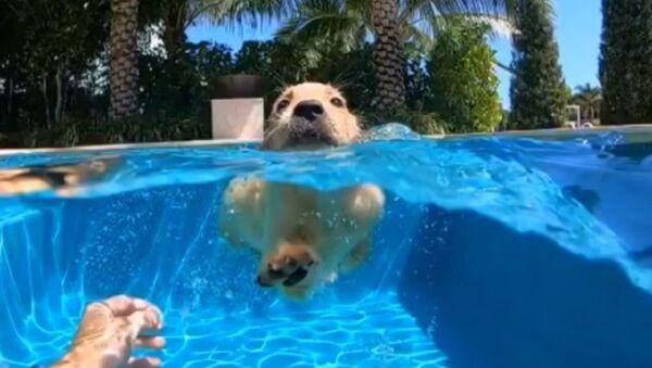 Futuro nuotatore: lezione di nuoto per adorabili cuccioli di Golden Retriever - Video - Sputnik Italia