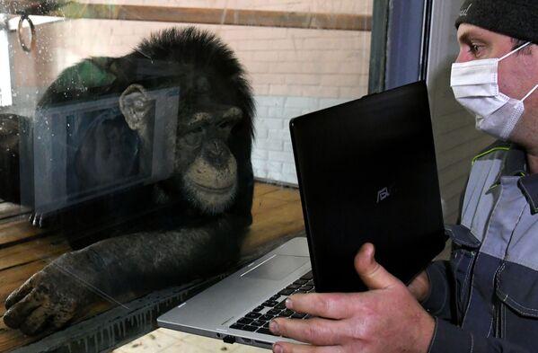 Uno zoologo mostra allo scimpanzé Anfisa delle fotografie sul laptop nel parco Royev ruchej a Krasnoyarsk. - Sputnik Italia