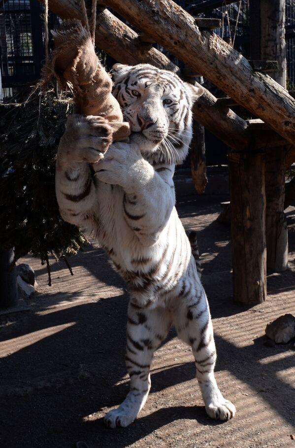 La tigre del Bengala Khan nel parco Royev ruchej a Krasnoyarsk. - Sputnik Italia