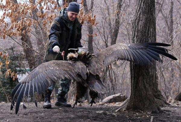 Un dipendente del parco safari del Territorio del Litorale russo dà da mangiare ad un avvoltoio. - Sputnik Italia