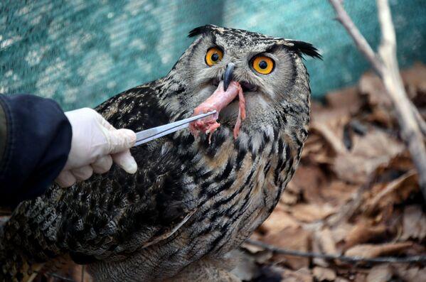 Un dipendente del parco safari del Territorio del Litorale russo dà da mangiare a un gufo. - Sputnik Italia