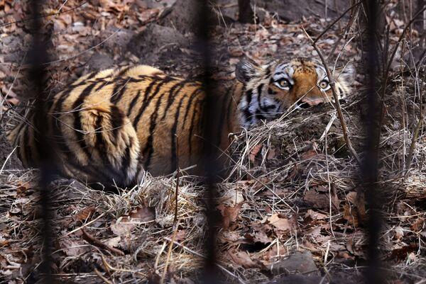 La tigre di Amur che si chiama proprio Amur, famosa per aver fatto amicizia con la capra Timur, nel parco safari del Territorio del Litorale russo. - Sputnik Italia